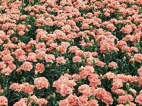 冠捷生物 康乃馨提取物 现货供应