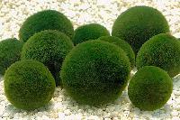 冠捷生物 小球藻提取物 西安厂家现货供应