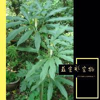 蛇六谷提取物 厂家现货销售供应 白花蛇舌草提取物 10:1