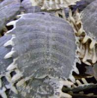 蛤蚧提取物