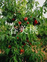 河北賣桃樹苗