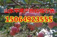 山东省红将军苹果产地在哪里价格多少