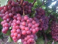 陕西雨棚红提葡萄价格