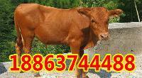 贵州什么地方有养牛的
