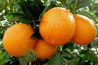 批发代销脐橙、橙子