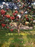大规格占地山楂树:10-15-20-25公分山楂树价格