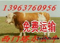 新疆西蒙塔尔牛