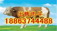 肉牛西门塔尔牛电话