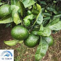 中熟大叶尾张柑橘苗、蜜桔苗,适应性强,易丰产