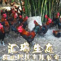 土鸡苗价格青脚土鸡苗黑脚高腿适合生态养殖