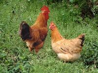 新鲜农产品佛山宏鸿一站式食材食堂配送-柴鸡