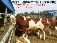 吉林省西门塔尔牛犊