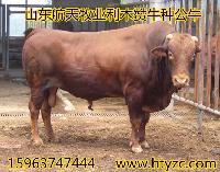 黄牛价格牛犊养殖技术