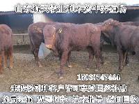 内蒙古利木赞牛养殖技术