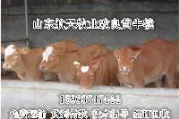 三个月肉牛犊多久出栏  鲁西黄牛
