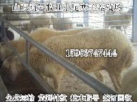 小尾寒羊活羊价格