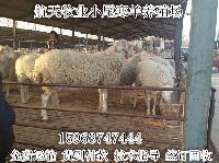养殖黑山羊和白山羊哪个好