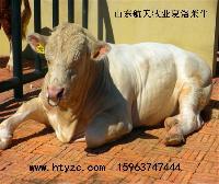 夏洛莱杂交牛体貌特征