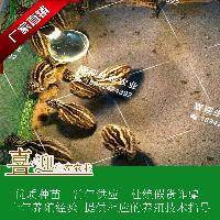 广东喜迎生态农业 鸸鹋苗 鸸鹋哪里有   鸸鹋出壳苗