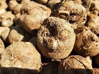 魔芋种子/脱毒魔芋种子,种植基地直销,免费送货上门