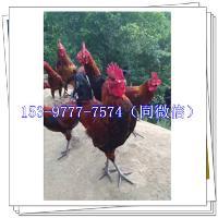 汉中土鸡苗价格行情养殖