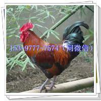 西安土鸡苗多少钱一只下蛋