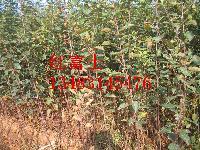 河北邢台出售果树苗的