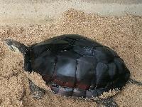 供应仿野生南种石金钱龟