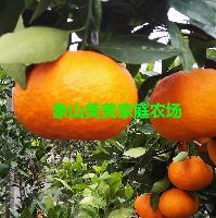 甘平柑橘苗,象山原产地,柑桔新品种,最甜晚熟杂柑