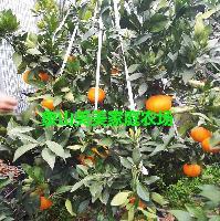 晚熟高糖柑橘新品种 甘平橘苗、蜜桔苗 1年生 品种纯正