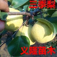 3,4,5,6公分梨树