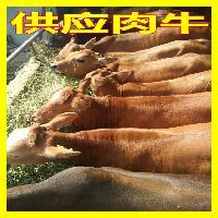 新疆买牛犊市场