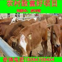 哪里出售种小公牛出售200斤之400斤的
