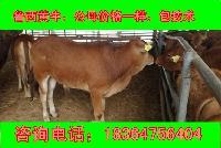 云南三之六个月西门塔尔肉牛犊价格