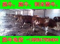 改良鲁西黄牛种公牛多少钱一头现在