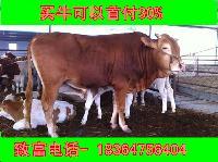 山东一头鲁西黄牛价格科学养牛