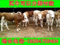 哪里的纯种西门塔尔牛小牛品种好