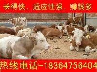 科学养牛西门塔尔牛小肉牛价格多少