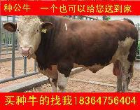 哪里的西门塔尔牛纯种