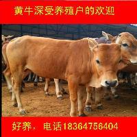 今日肉牛毛重价格多少