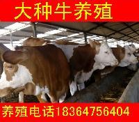 活肉牛价格多少钱一斤现在