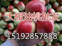 现在的山东大棚油桃批发价格及产地价格查询
