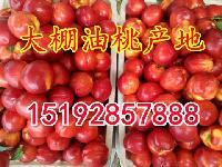 大棚油桃价格 目前山东省大棚油桃批发价格详细资讯