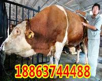 西门达尔母牛出售价格