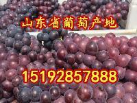 今年山東省巨峰葡萄產地價格 巨峰葡萄批發價格
