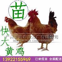 快大黄鸡苗供应,优质快大黄鸡苗,长速快成活高,厂家批发价格优惠