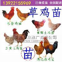 草鸡苗批发,优质草鸡苗,纯种小脚本地土鸡品种厂家价格