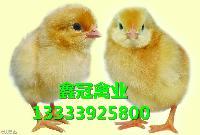 厂家直销海蓝灰蛋鸡苗