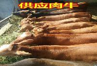 纯种利木赞母牛养殖场