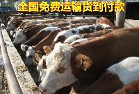 纯种安格斯肉牛养殖场